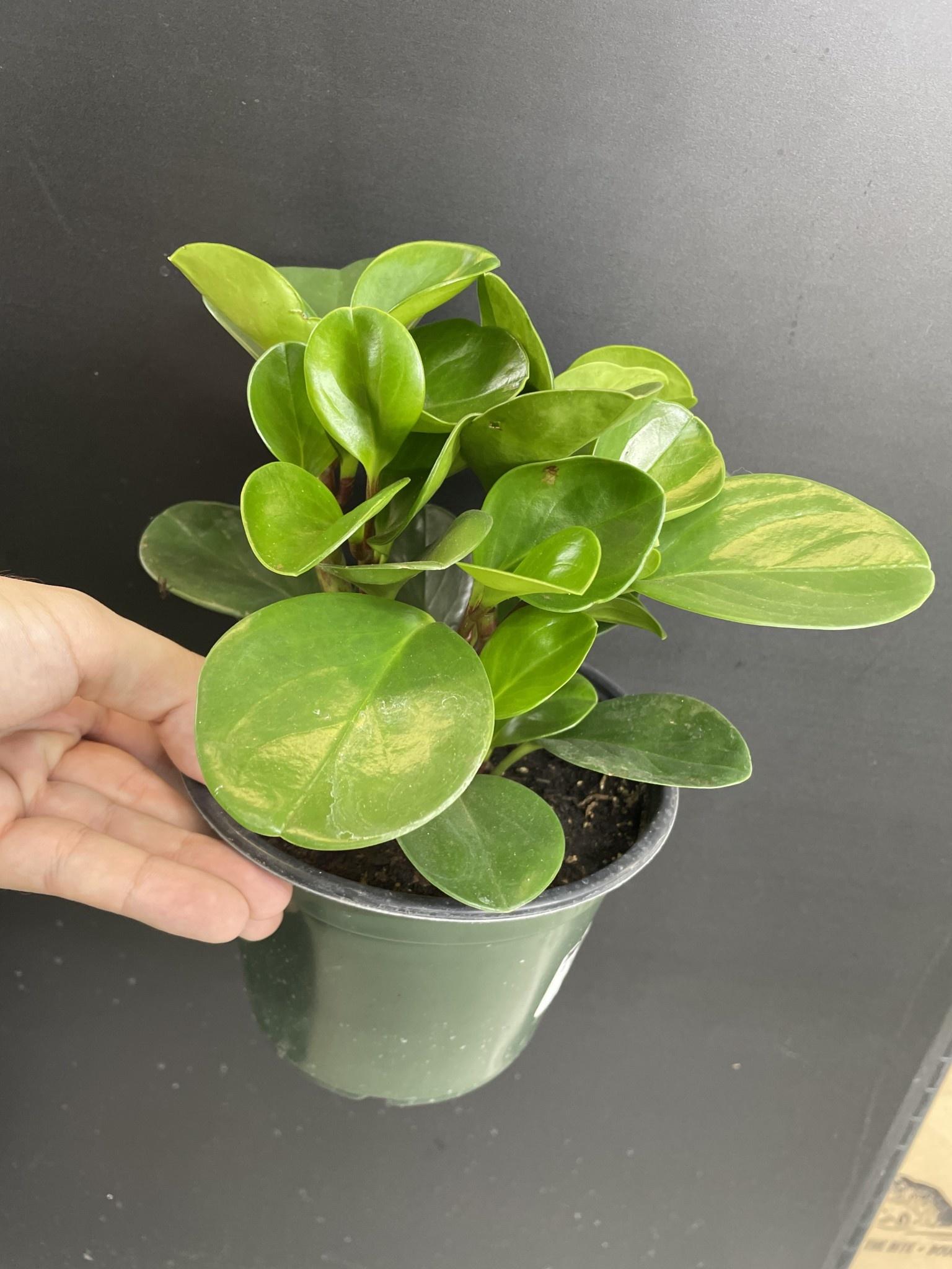 """6"""" Peperomia Obtusifolia"""