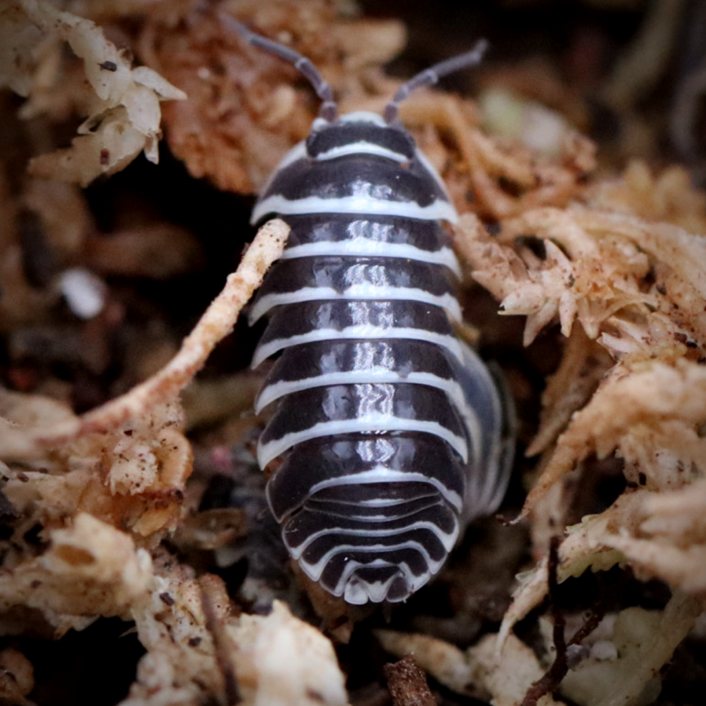 Big Bites Big Bites Isopods - Armadillidium Maculatum (Zebra) (12)