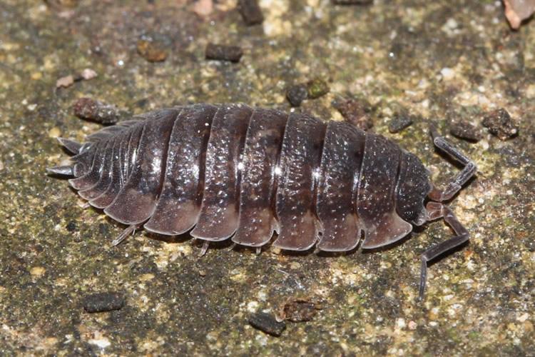 Big Bites Big Bites Isopods - Porcellio Scaber (12)