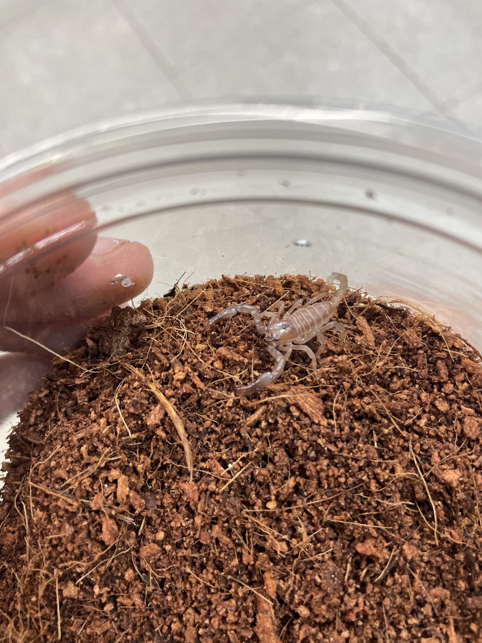 Black Asian Forest Scorpion - Baby