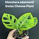 "3.5"" Monstera adansonii (Swiss Cheese Plant)"