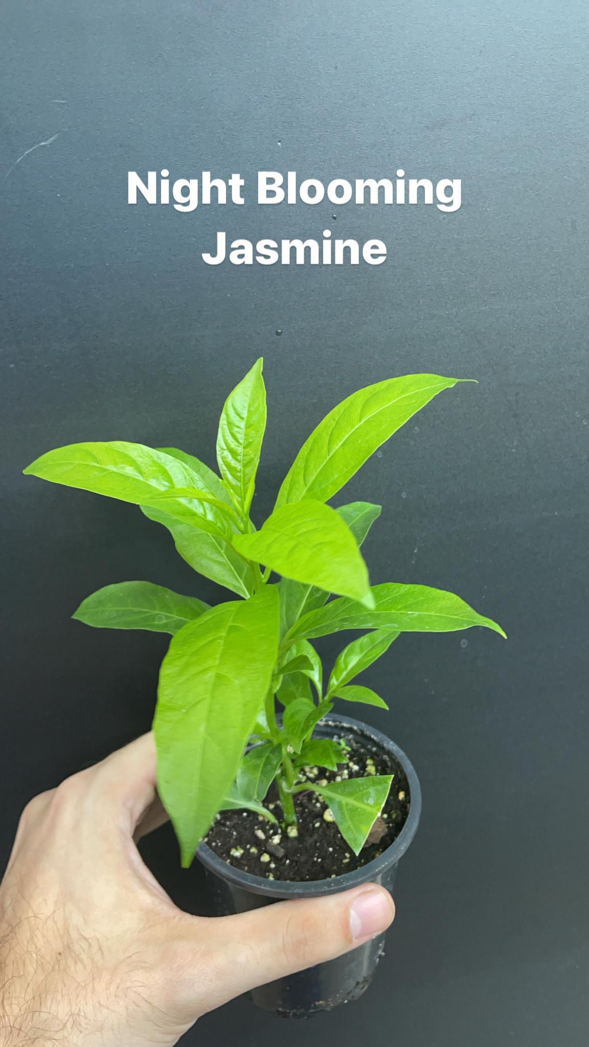 "3.5"" Night Blooming Jasmine"