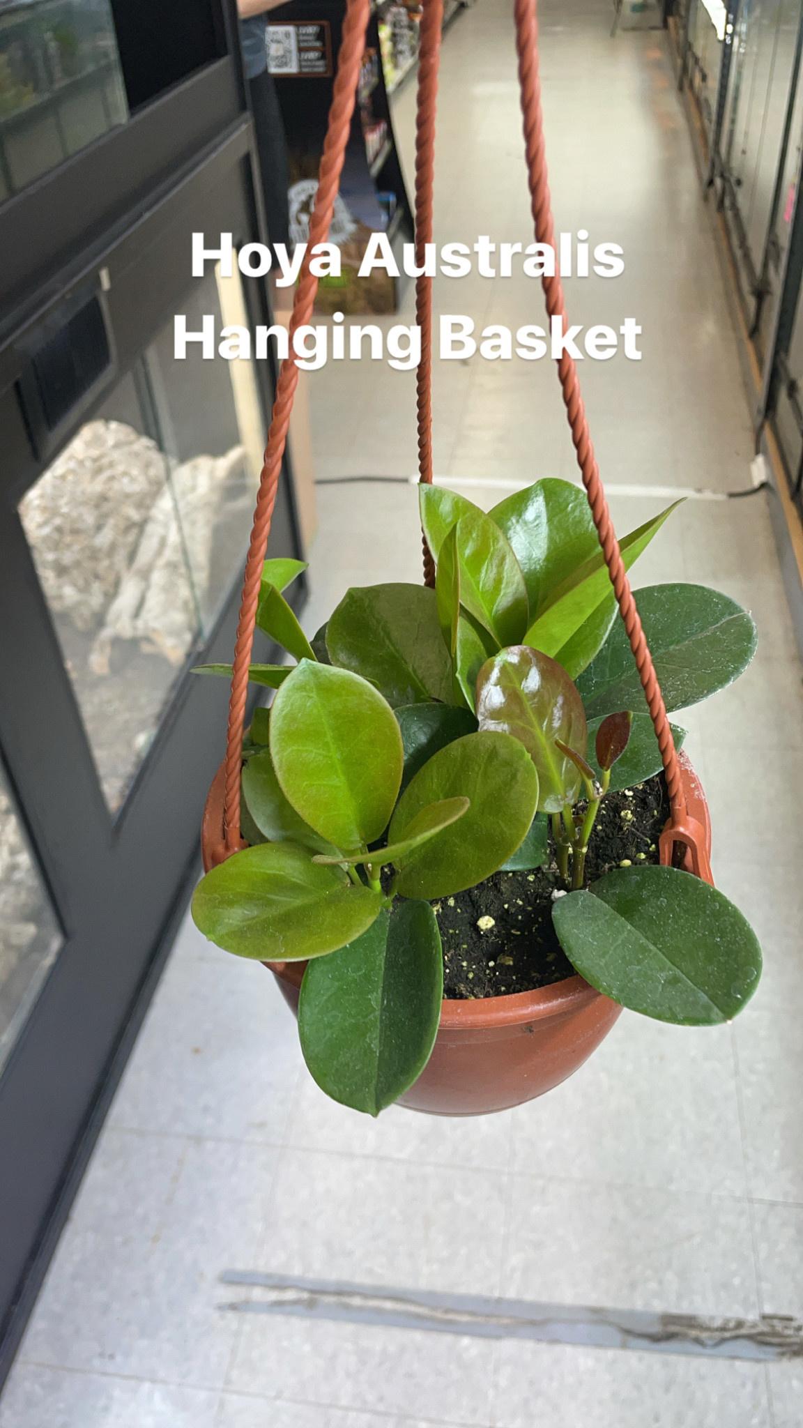 """6"""" Hoya Australis Hanging Basket"""
