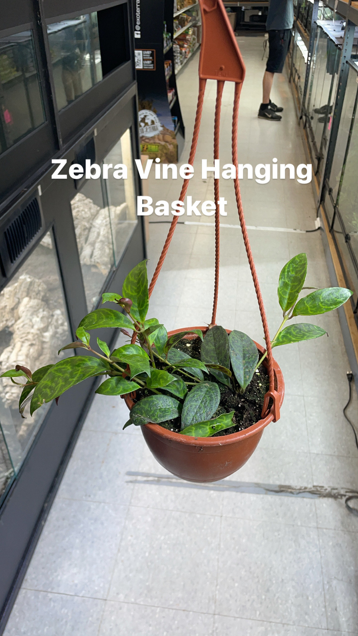 "6"" Zebra Vine Hanging Basket"