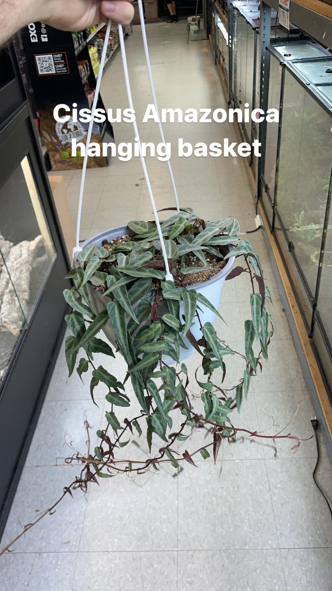 "8"" Cissus Amazonica Hanging Basket"