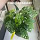 "8"" Monstera adansonii (Swiss Cheese Plant) Hanging Basket"