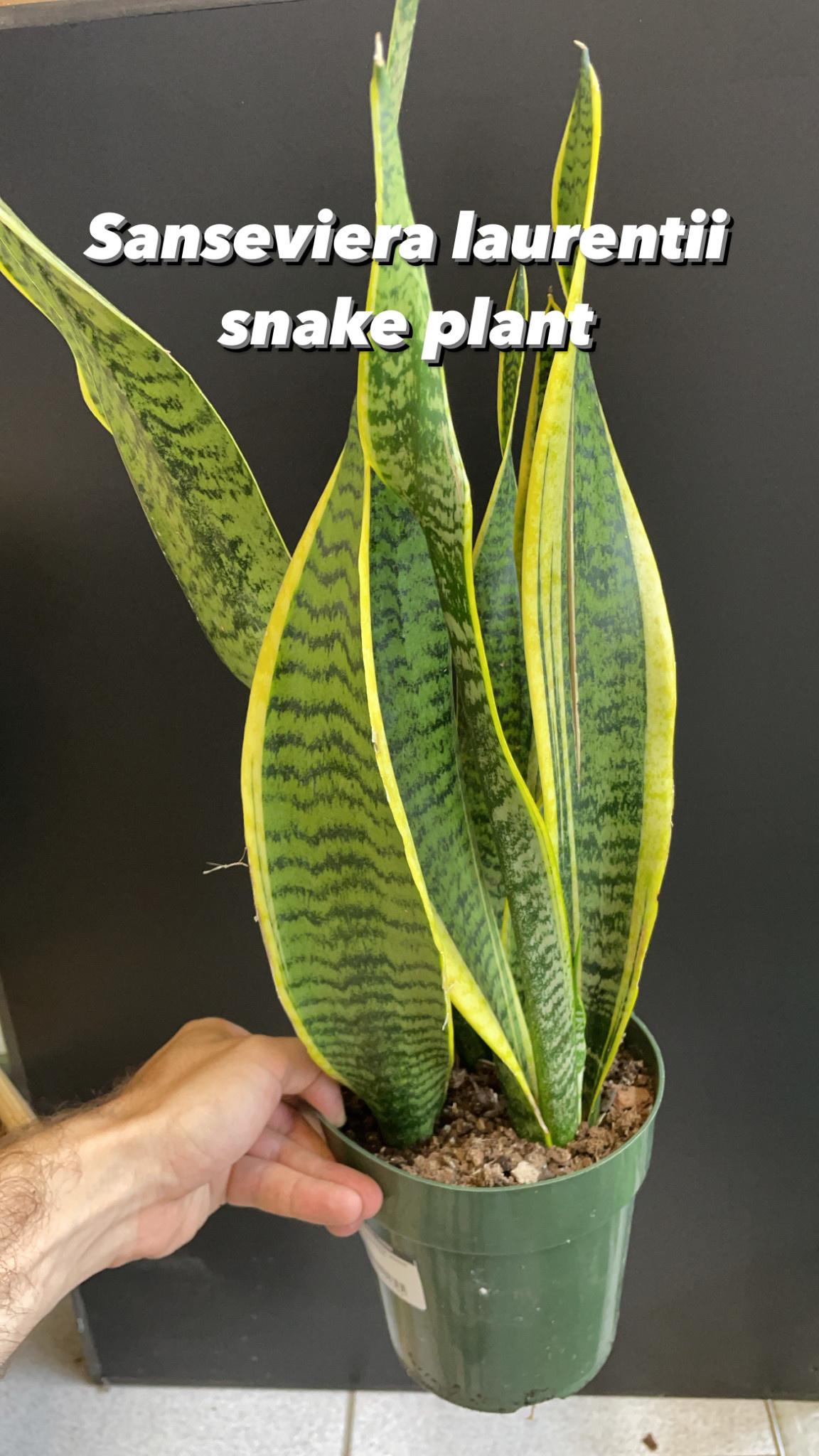 """6"""" Sansevieria Laurentii (Snake Plant)"""