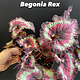 """6"""" Rex Begonia"""