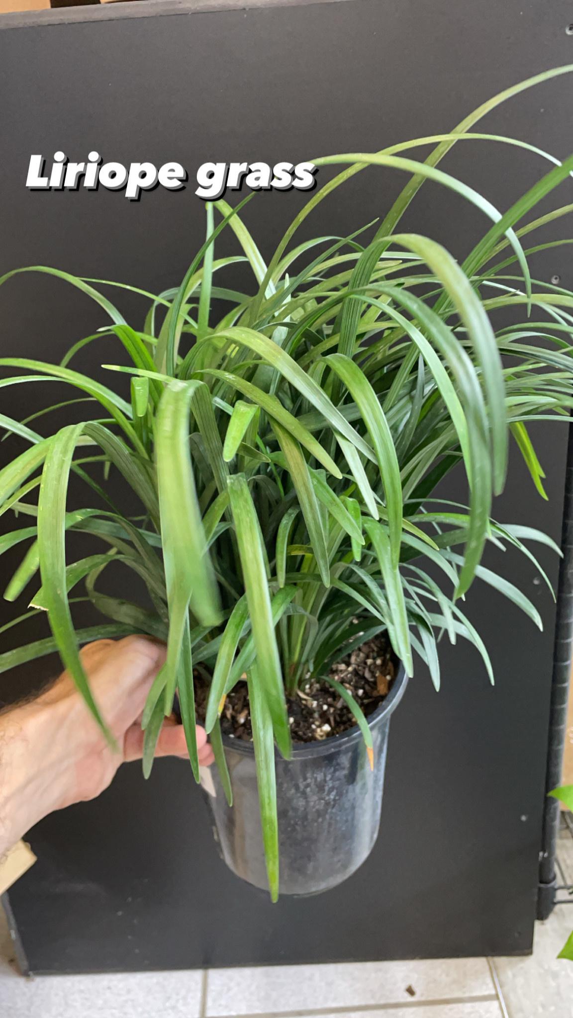 "6"" Liriope Grass"