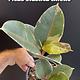 "6"" Ficus Elastica Tineke"