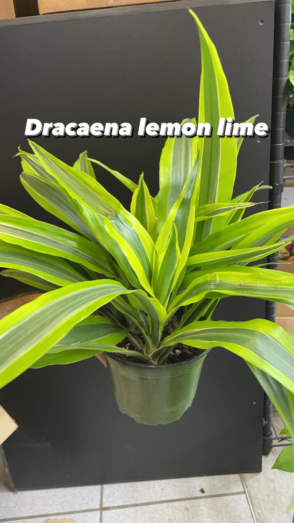 "6"" Dracaena Lemon Lime"