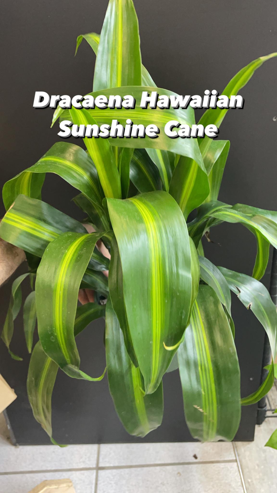 "6"" Dracaena Hawaiian Sunshine Cane"