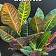 """6"""" Croton Petra"""