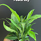 """4"""" Spathiphyllum Peace Lily"""