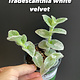 "3.5"" Tradescanthia White Velvet"