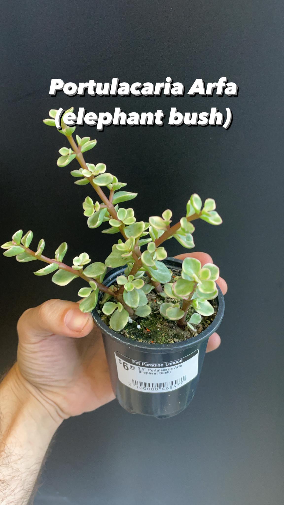 """3.5"""" Portulacaria Arfa (Elephant Bush)"""