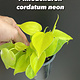 "3.5"" Philodendron Cordatum Neon"