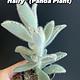 """3.5"""" Kalanchoe """"Hairy Hairy"""" (Panda Plant)"""
