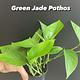 "3.5"" Green Jade Pothos"