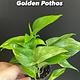 """3.5"""" Golden Pothos"""