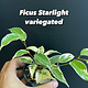 "3.5"" Ficus Starlight (Variegated)"