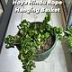 """8"""" Hoya Hindu Rope Hanging Basket"""