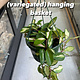 "8"" Hoya Carnossa (Variegated) Hanging Basket"