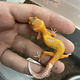 Tremper Mandarin Tangerine Leopard Gecko