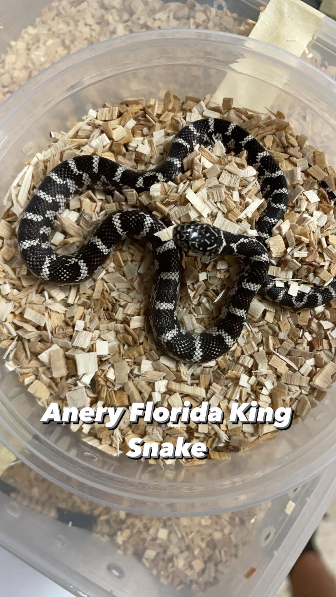 Anery Florida King Snake