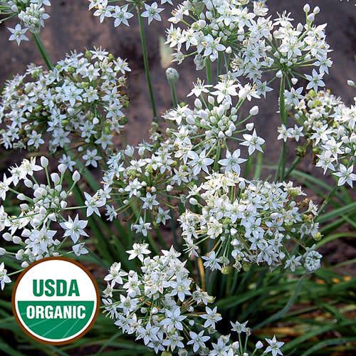 Seed Savers Exchange Herb Seeds - Garlic Chives (organic)