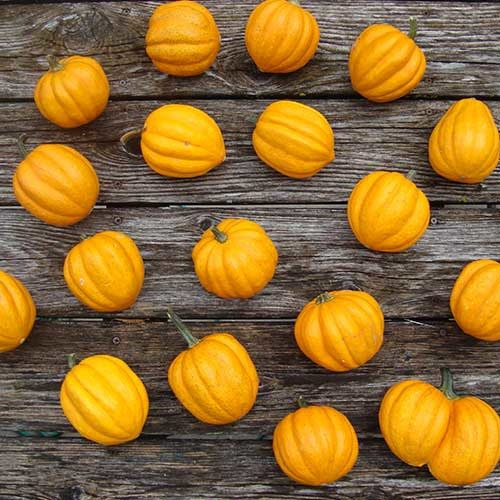 Seed Savers Exchange Squash Seeds - Gill's Golden Pippin