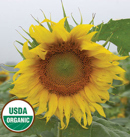 Seed Savers Exchange Sunflower Seeds - Rostov (organic)