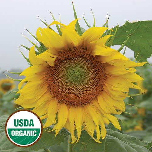 Seed Savers Exchange Sunflower Seeds - Rostov (organic)