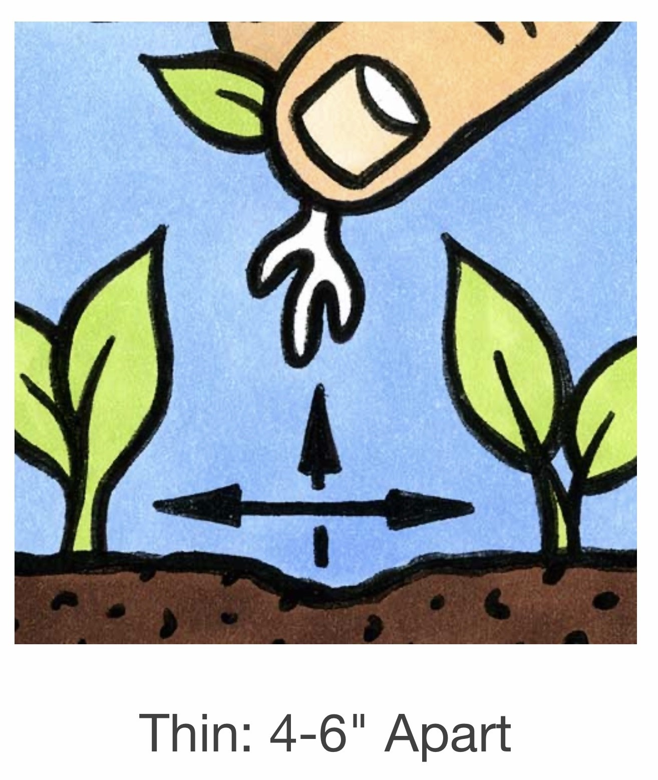 Seed Savers Exchange Beet Seeds - Burpee's Golden (organic)
