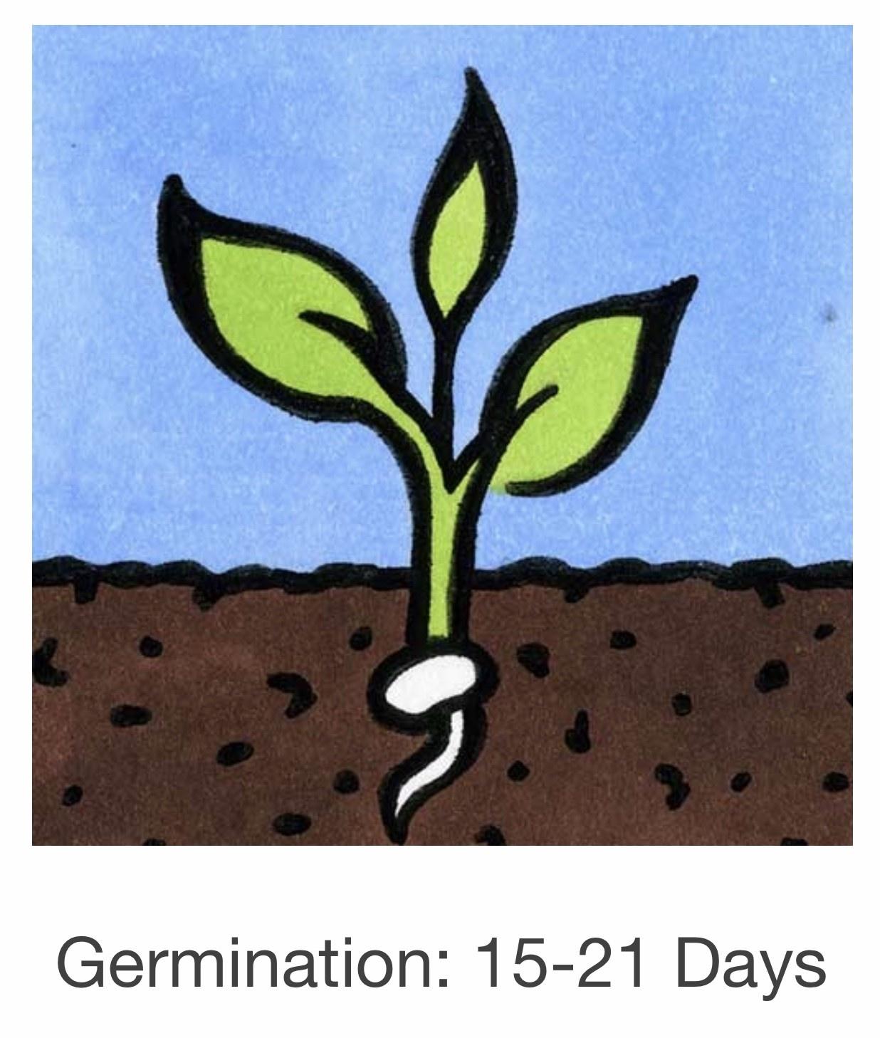 Seed Savers Exchange Flower Seeds - White Cypress Vine