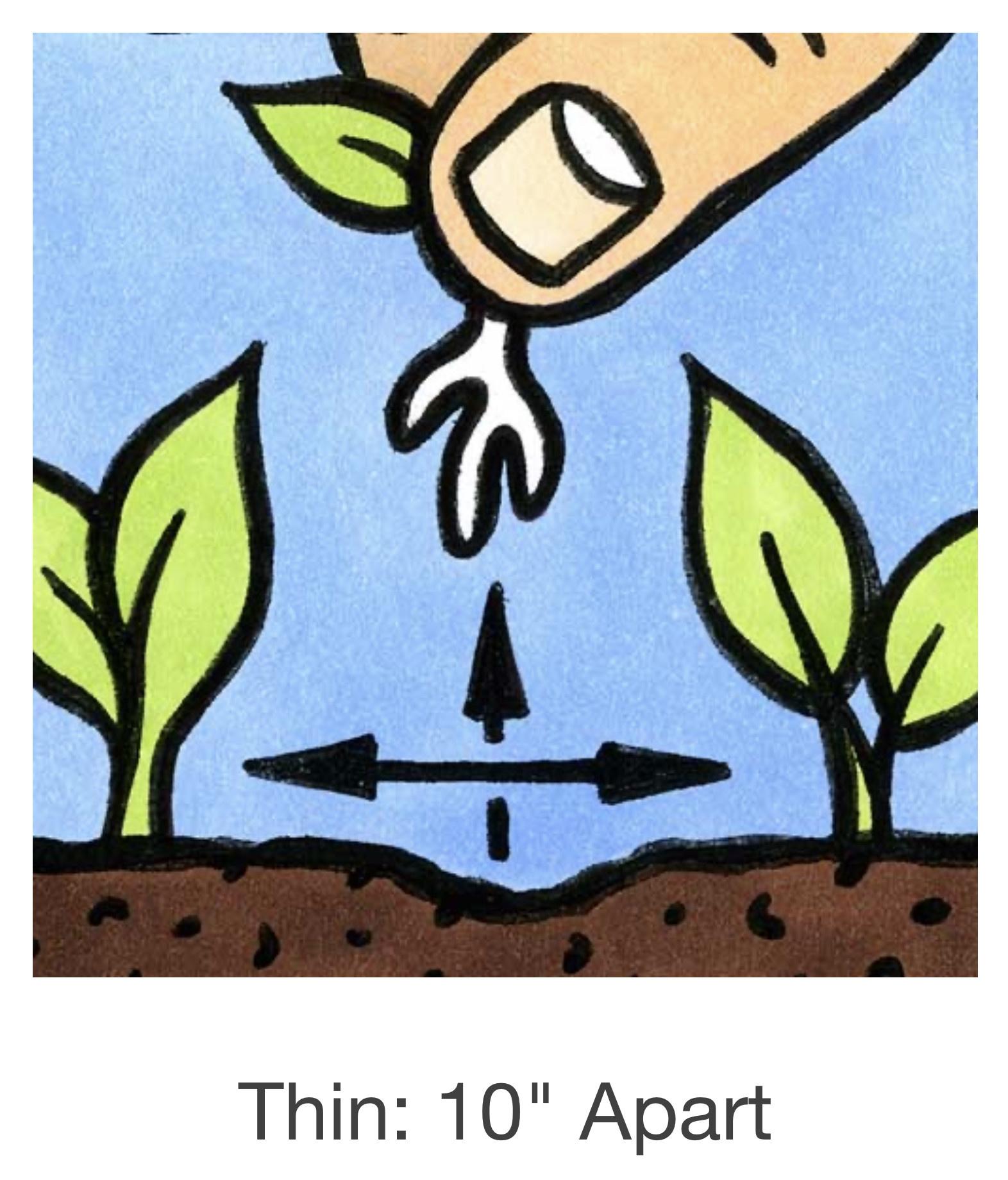 Seed Savers Exchange Lettuce Seeds - Crisp Mint (organic)