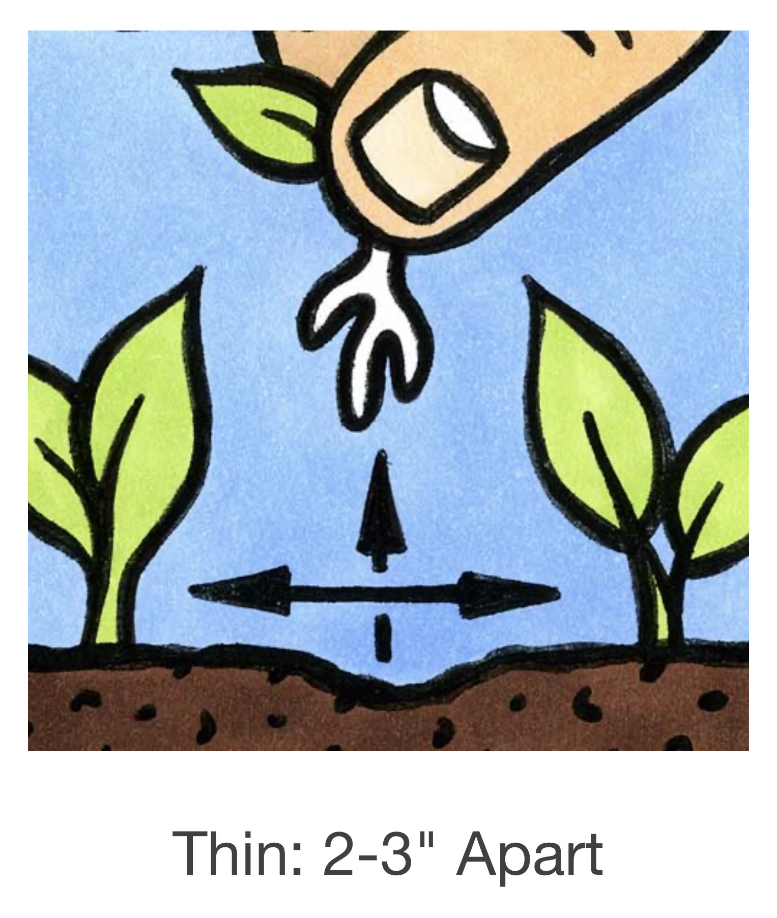 Seed Savers Exchange Radish Seeds - China Rose (organic)