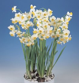 Narcissus Paperwhite 'Chinese Sacred Lily' - Half Dozen Bulbs