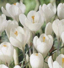 Crocus Large Flowering 'Peter Pan' - Half Dozen Bulbs