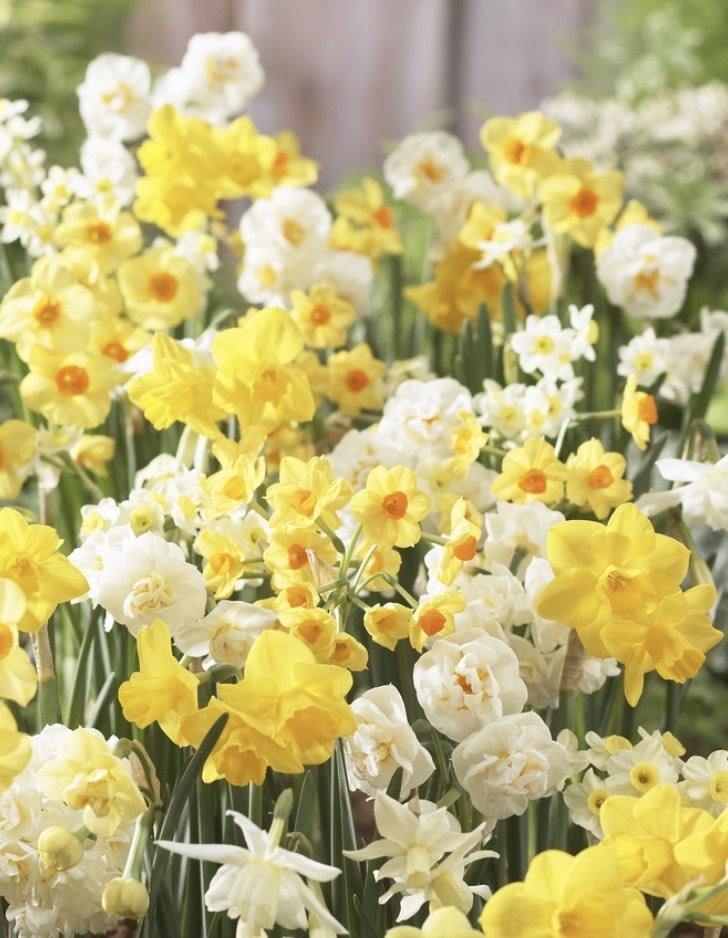 Daffodil Bunch Flowering 'Fragrant Mixture' - Half Dozen Bulbs