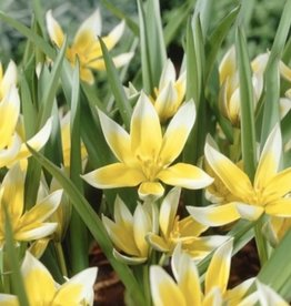 Tulip Botanical 'Dasystemon Tarda' - Half Dozen Bulbs