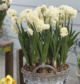 Narcissus Paperwhite 'Erlicheer' - Half Dozen Bulbs