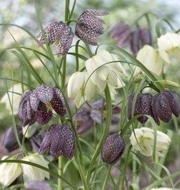 Fritillaria Meleagris 'Mixture' - Half Dozen Bulbs
