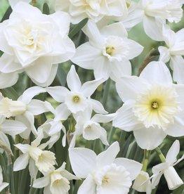 Daffodil Long-lasting 'Holland Mixture' - Half Dozen Bulbs