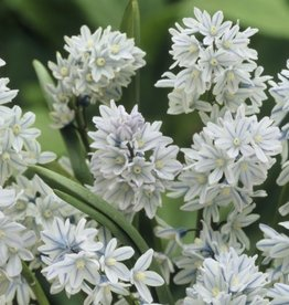 Puschkinia Scilliodes 'Libanotica' - Set of 10 Bulbs