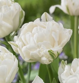 Tulip Double Late 'Mount Tacoma' - Half Dozen Bulbs