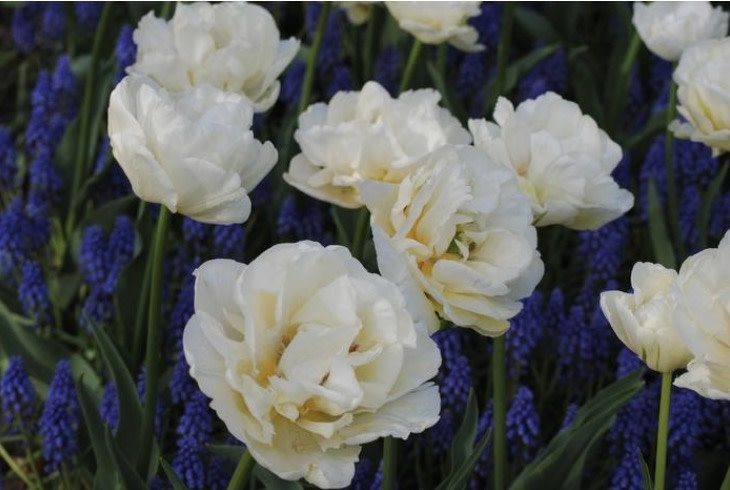 Tulip Double Late 'Mount Tacoma' - Half Dozen Bulbs