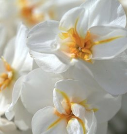 Daffodil Bunch Flowering 'Sir Winston Churchill' - Half Dozen Bulbs