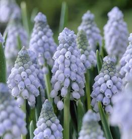 Muscari Grape Hyacinth 'Valerie Finnis' - Half Dozen Bulbs