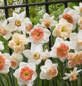 Daffodil Long-lasting 'Rotterdam Mixture'- Half Dozen Bulbs